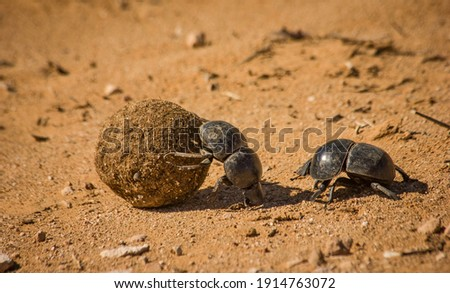 Dung beetles roll dung in Addo Elephant National Park Stock photo ©