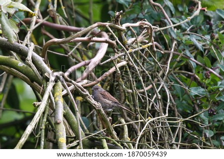 Photo of  Dunnock Bird in a tree setting  among branches