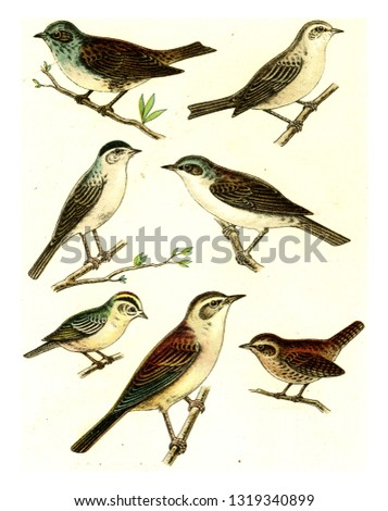 Dunnock, Garden Warbler, Black platelets, Fence warbler, Firecrest, Wren, Reed Warbler, vintage engraved illustration. From Deutch Birds of Europe Atlas.