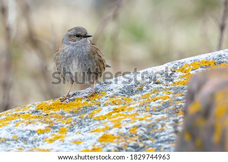 Photo of  Dunnock on the stone during the migration