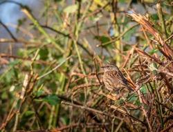 Dunnock, Prunella modularis aka Hedge sparrow,perfectly camouflaged in hedge. UK.