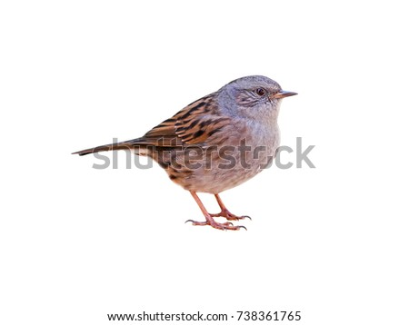 Photo of  Dunnock (Prunella modularis), isolated on white background, cut out