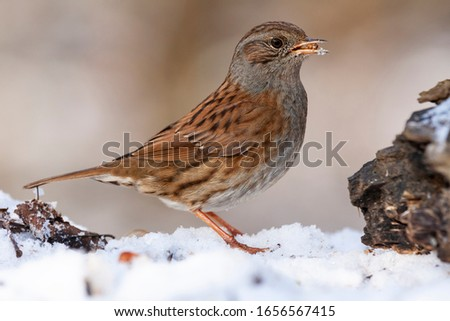 Photo of  Dunnock, Prunella modularis, perched in the snow looking for food. Spain