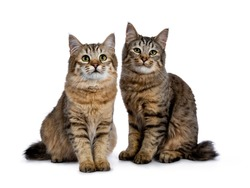 Duo of two Pixie Bob cat kittens both sitting straight up isolated on white background and facing camera