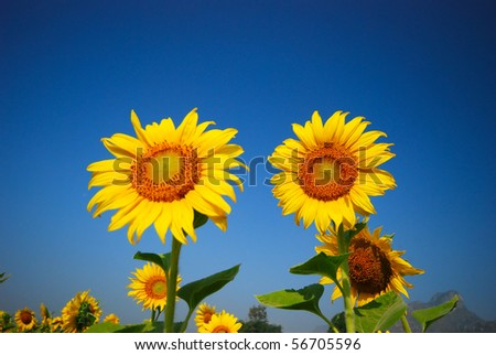 Duo sunflower