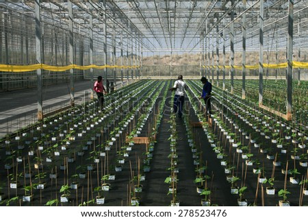 Durban, South Africa - 15 August, 2012 - people work on a greenhouse of cucumber seedlings in a farm.