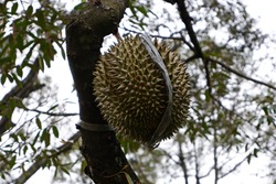 """Durian is derived from word """"duri"""" (meaning """"thorn""""). Some people regard the durian as having a pleasantly sweet fragrance, whereas others find the aroma overpowering with an unpleasant odour."""
