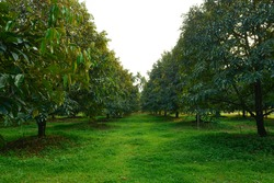 Durian tree in Fruit garden at Rayong Thailand.
