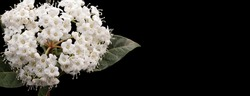 Durillo plant, a white-flowered shrub that blooms in March,  Photo with space for advertising, blank space for your promotional text or advertising content, horizontal photo,