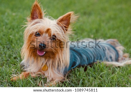 During the Dog Days of Summer, a Silky Terrier rests joyfully in the grass looking with kindness upon his owner #1089745811