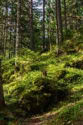 Durmitor National Park. Montenegro. Autumn forest. Green moss grows in a coniferous forest. Moss on rocks, trees, in a coniferous forest. The moss is illuminated by the sun.