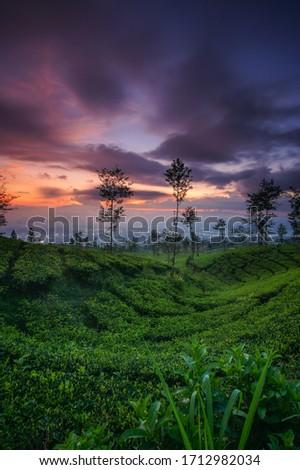 Dusk at the Wonosobo Kertek tea garden Stock fotó ©