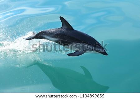 Dusky Dolphin Jumps From Ocean in Kaikoura, New Zealand #1134899855
