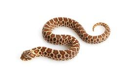Dusky Hognose Snake (Heterodon nasicus gloydi) isolated on white background.