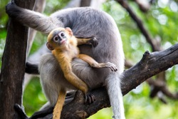 Dusky Langur Monkey baby or Dusky Leaf Monkey baby on the tree, Prachuap Khiri Khan, Thailand