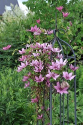 Dusky pink large-flowered clematis Giselle blooms on an obelisk in a garden in June 2017