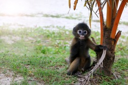 Dusky Spectacled Langur living in the wild. The Little Leaf-monkey on the beach in national parks and protected areas.