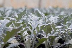 Dusty Miller (Senecio cineraria / Jacobaea maritima). Grey and white curled woolly leaves. Close-up from ground level, greenhouse interior, out of focus background. Leaves covered with hairs.