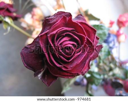 dusty rose #974681