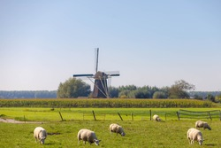 Dutch agriculture with sheeps nibbling grass on the green meadow,  Corn or maize field with traditional windmill as background, Countryside landscape with flat and low land under blue sky, Netherlands