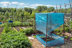 Dutch allotment garden with bean stakes and tomato plants covered with plastic foil