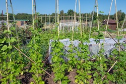 Dutch allotment garden with growing vegetables, bean stakes and shed