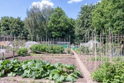 Dutch allotment garden with rhubarb plants and bean stakes near edge of the wood