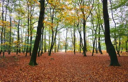 Dutch autumn forest with fall leaves. nice landscape.  Beautiful forest walking path in autumn in the Netherlands