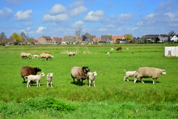 Dutch brown and white sheeps and lambs in green grass of meadow orchard in Netherlands (Holland), near Amsterdam, mother sheep and baby lamb in farm, walking freely, flock of sheeps in countryside