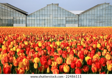 Dutch country business greenhouses and field of tulips. Spring in Netherlands.