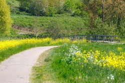 Dutch countryside landscape in spring, Selective focus yellow flowers of Rapeseed or Oilseed rape occur naturally along canal or ditch and wooden bridge in Netherlands, White mustard (Sinapis alba)