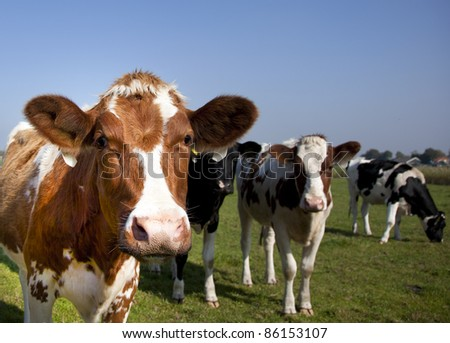 dutch cow in detail with blue sky