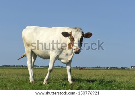 Dutch cow in grassland with clear blue sky
