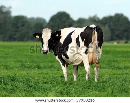 Dutch cow looking back