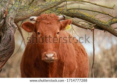 Dutch cow under small branch Zdjęcia stock ©