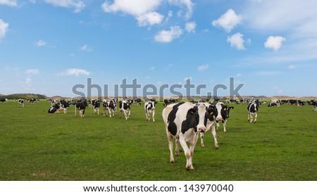 Dutch cows in a typical Dutch setting