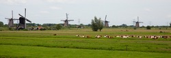 Dutch cows in the meadow near traditionals windmills of Kinderdijk, the Netherlands