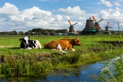 Dutch cows near a traditional windmill on a sunny day, the Netherlands
