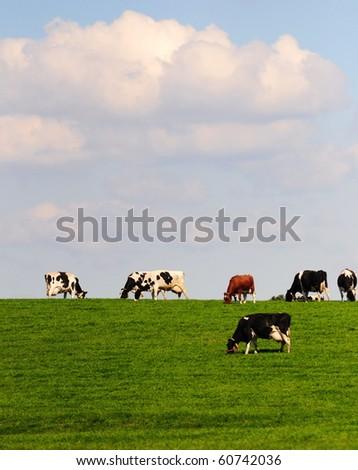 Dutch cows on a dike