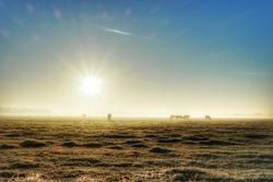 dutch cows on a foggy misty cold winter morning Urk Noordoostpolder Flevoland Netherlands 29 November 2016 ,cold misty foggy Sunrise over the land, colorful sunrise