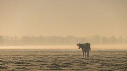 Dutch cows on a misty morning with fog ,Urk Netherlands Flevoland Noordoostpolder 29 November 2016