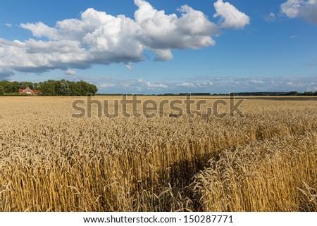 Dutch farmland with wheat field and cloudscape