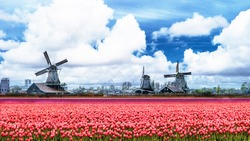 Dutch historical windmills and tullip flowers, typical dutch landscape Netherlands