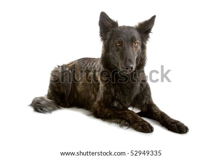 Dutch long haired shepherd dog in front of a white background