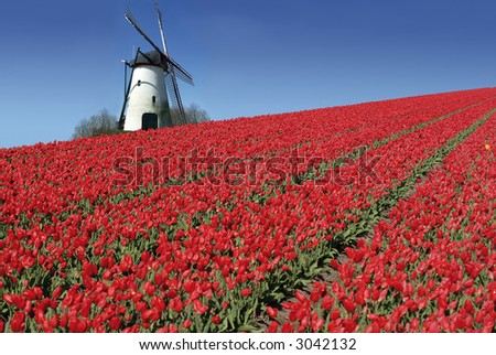 dutch mill behind a field full of red tulips