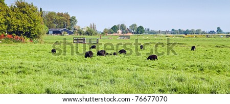Dutch polder landscape in spring with grazing black sheep