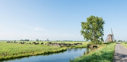 Dutch polder landscape with windmills and grazing cows in the pasture next to a ditch.