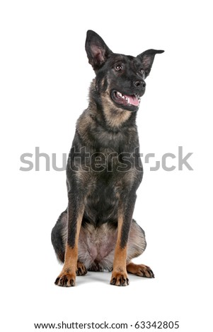 Dutch shepherd dog sitting isolated on a white background