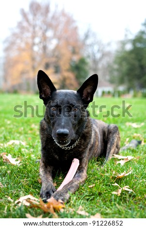 Dutch Shepherd K 9  This is Tommy he is a K 9 Police Dog. He is sitting in the grass looking at the camera. He holds his toy in his paws. Perfect for an advertisement.