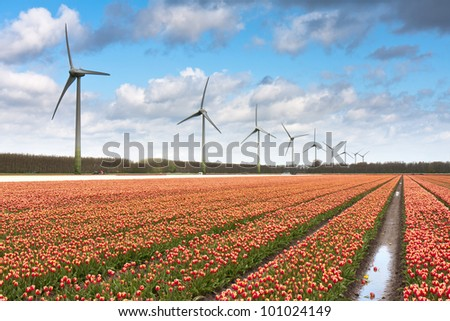 Dutch tulip field after a heavy rain shower